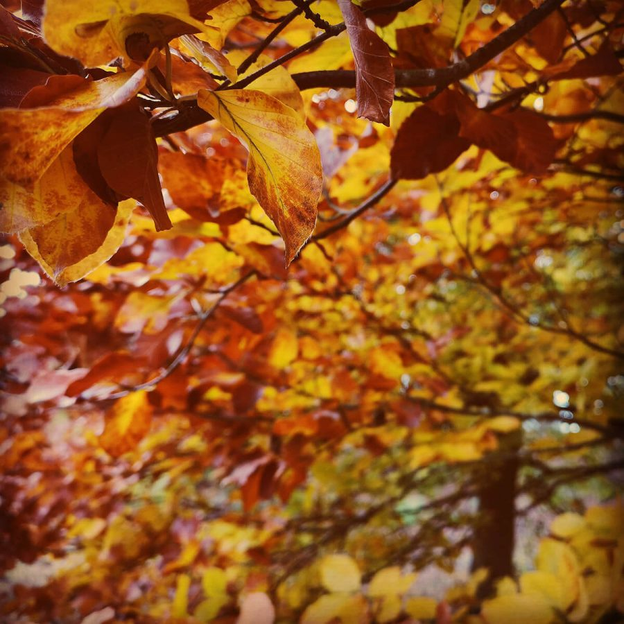 Beech Leaves Cannock Chase
