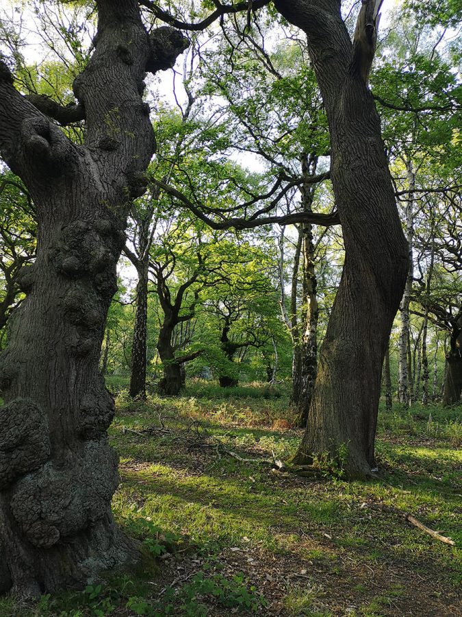 Brocton Coppice Cannock Chase