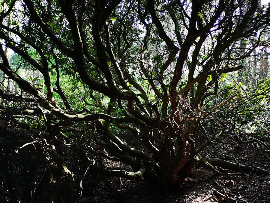 Rhododendron Roots - Brindley Village Plants