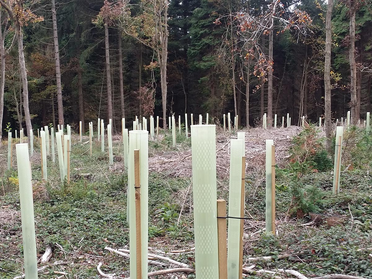 Re-planting Oak Wyre Forest