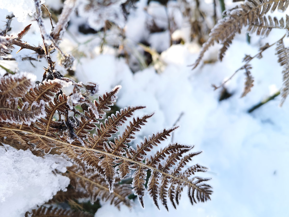 Bracken in winter snow