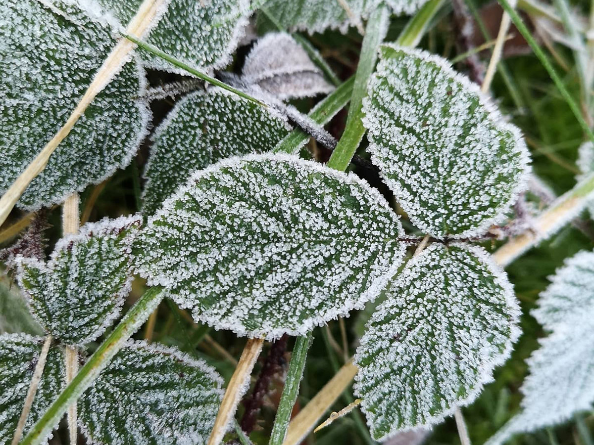 Brambles in winter frost