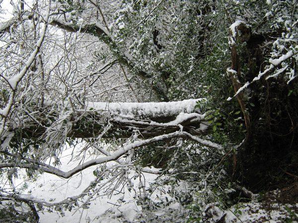 Fallen-oak-tree-countryside-winter