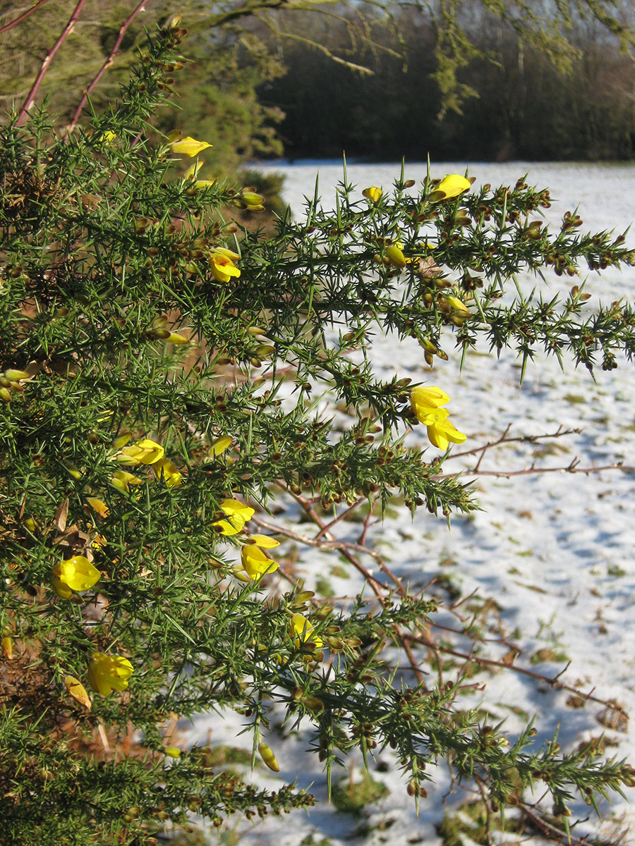 Gorse in Flower in the winter countryside