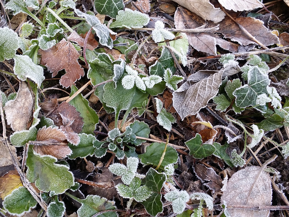 winter frost on garden leaves