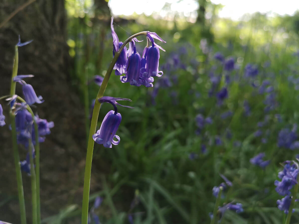 Spring Writing Prompts - Bluebells