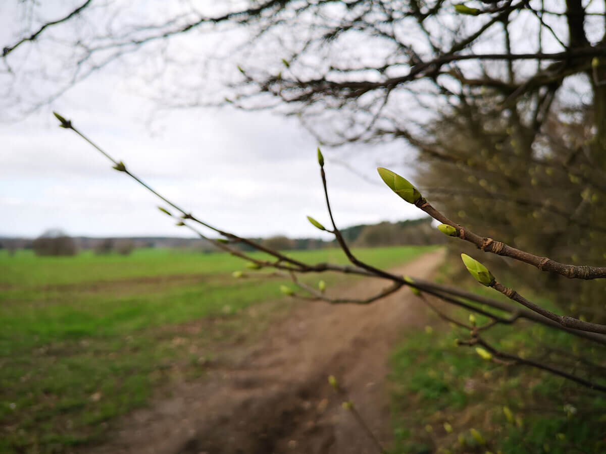 Buds - Spring Countryside