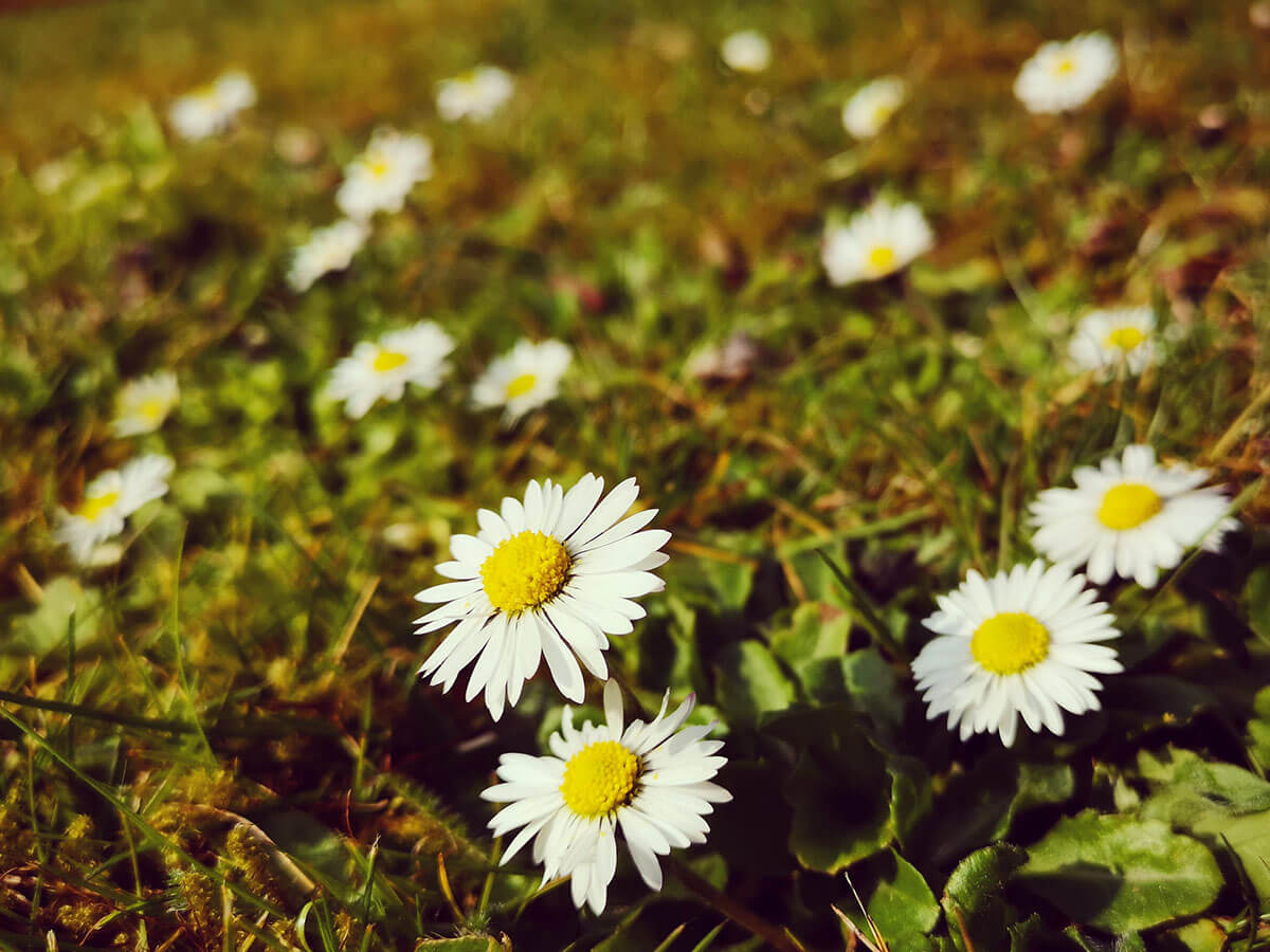 Spring Writing Prompts - Daisies