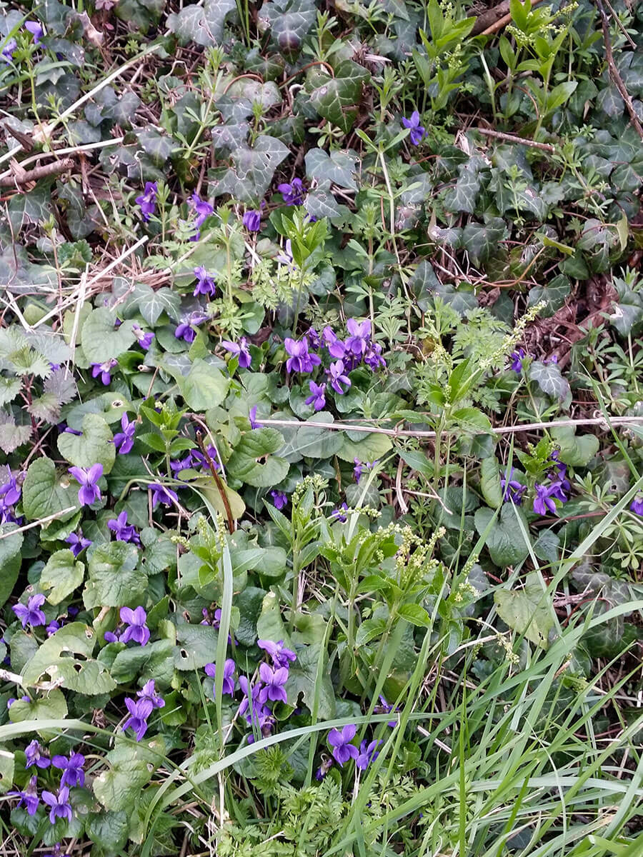 Dog Violets and Dogs' Mercury
