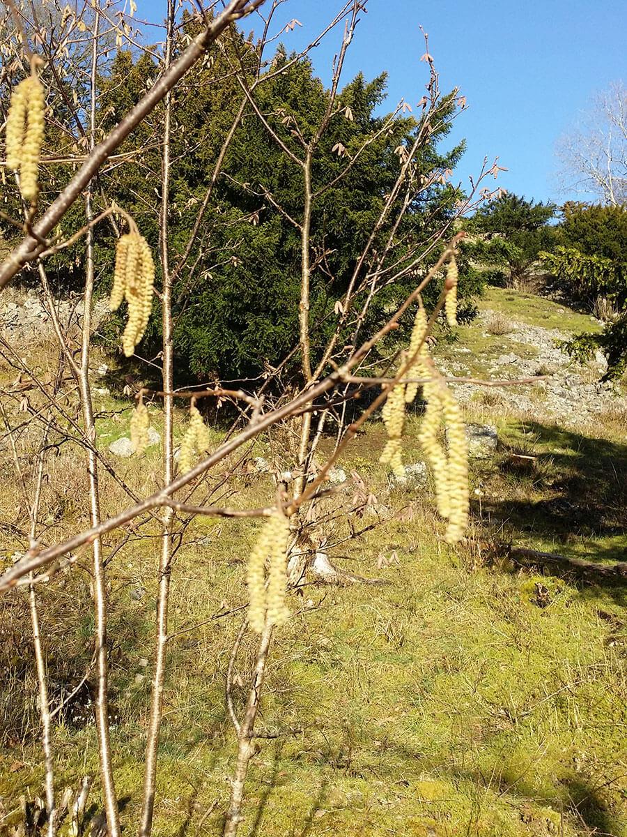 Hazel - Spring Countryside